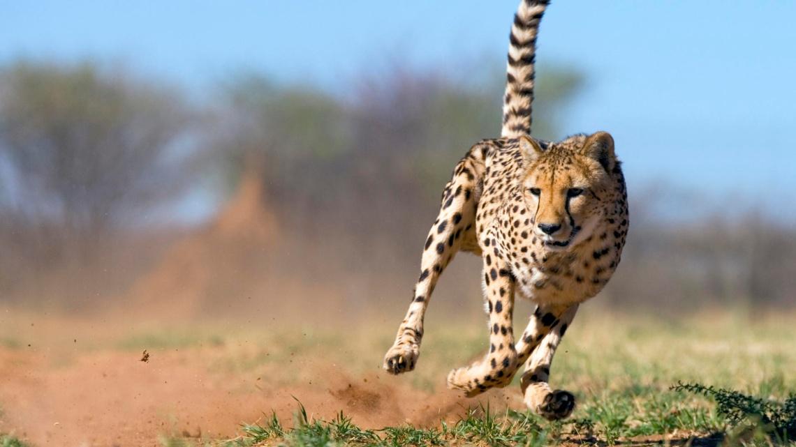 Cheetah (Acinonyx jubatus) running, Namibia