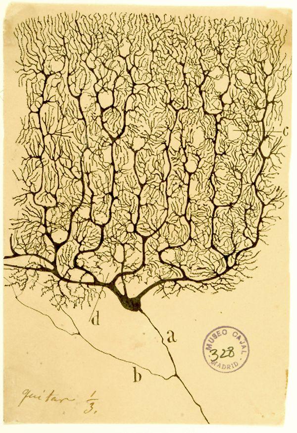 5dfe6a3a7bde9d944343063e4ff58102--the-human-brain-neuroscience